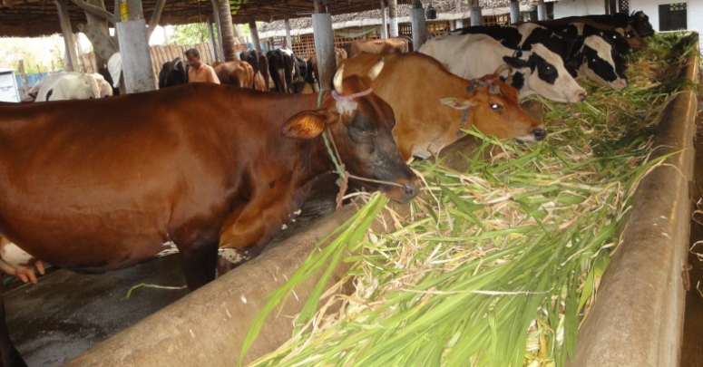 Start Cow Farming Business