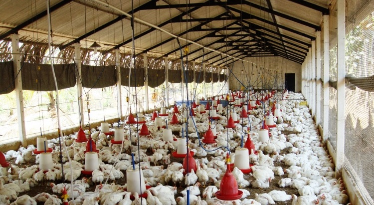 How to Start Broiler Farming Business