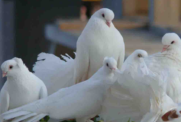 How to Start Pigeon Farming Business
