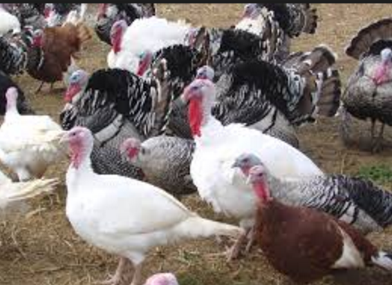 How to Start Turkey Farming Business