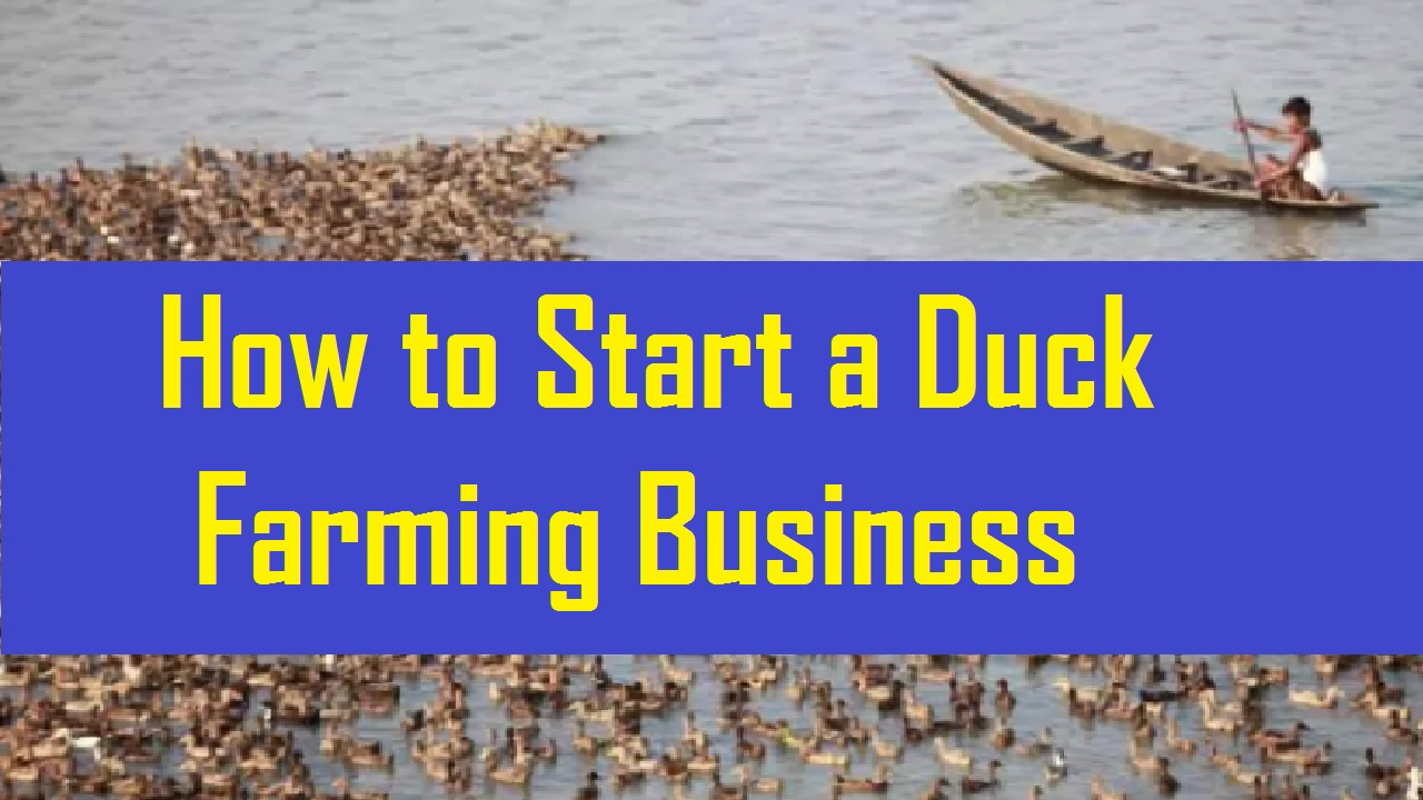 How to Start a Duck Farming Business