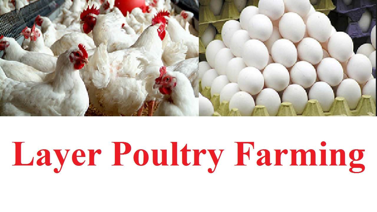14 Valuable Tips in Layer Poultry Farming - Business Daily 24