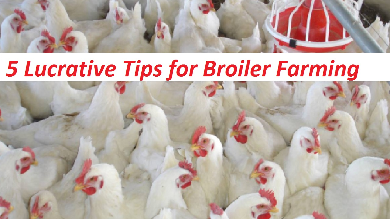 5 Lucrative Tips for Broiler Farming