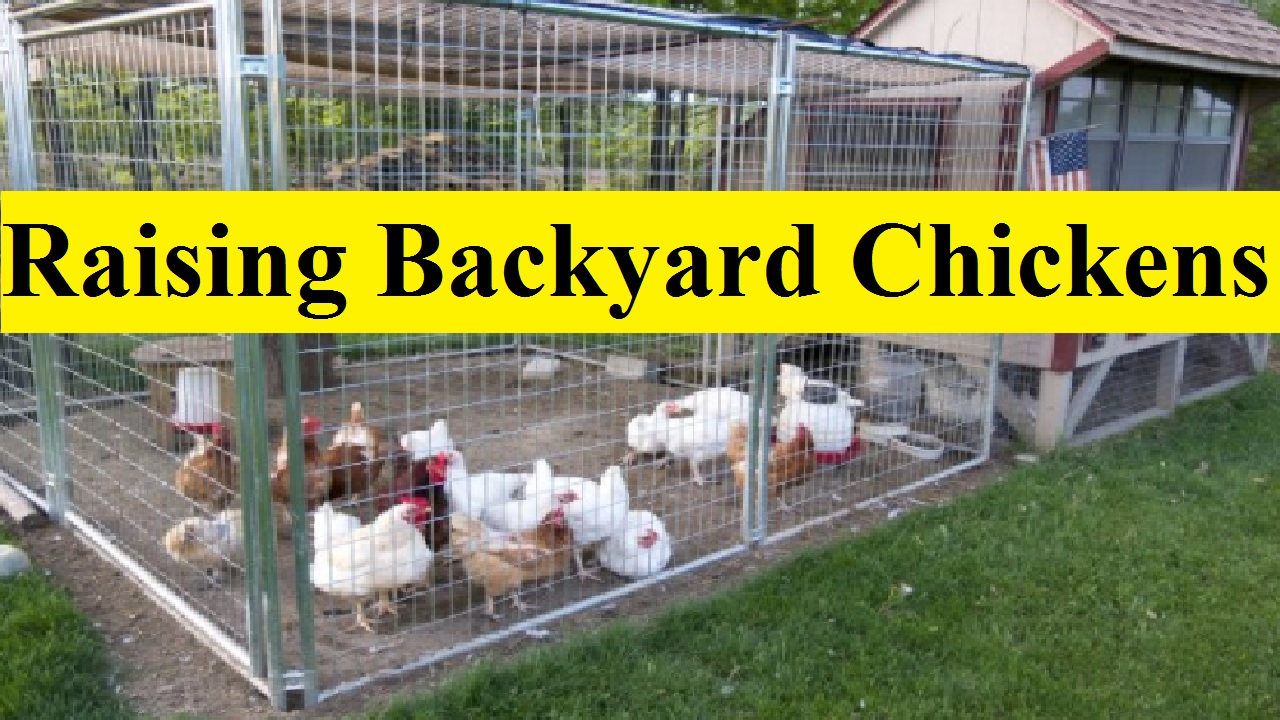 7 Special Tips to Begin Raising Backyard Chickens