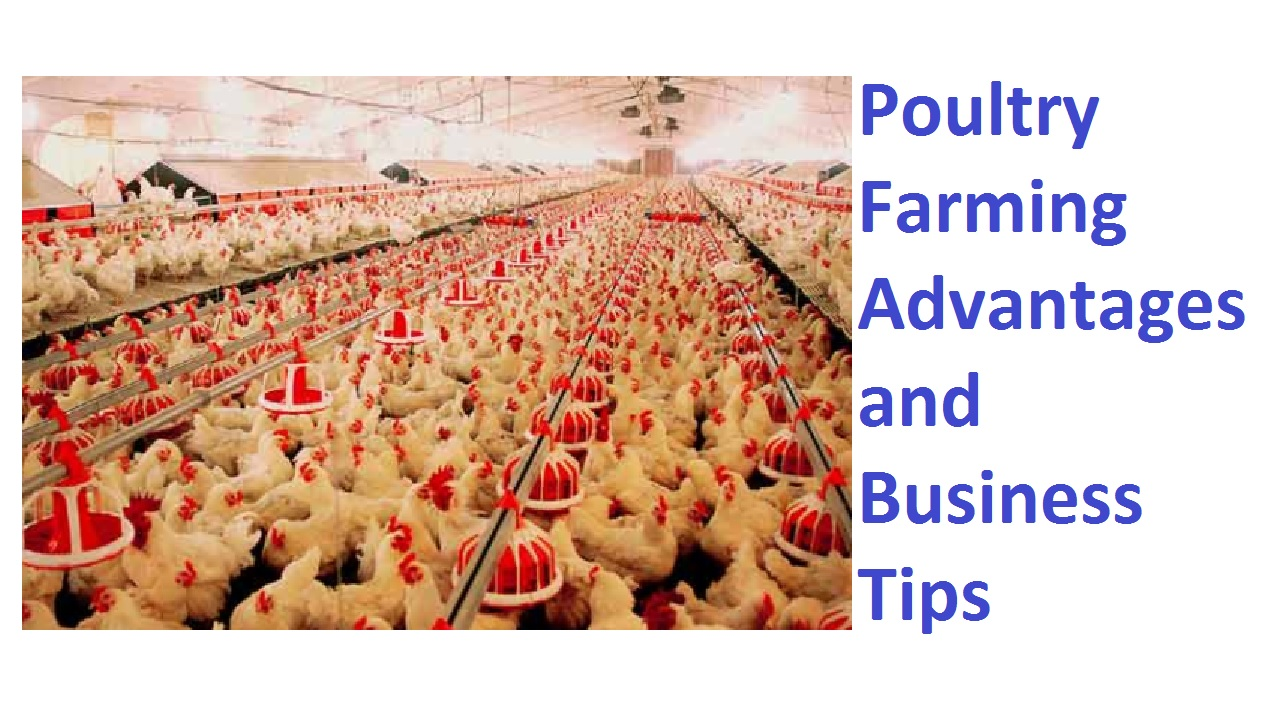 9 Lucrative Poultry Farming Advantages and Business Tips