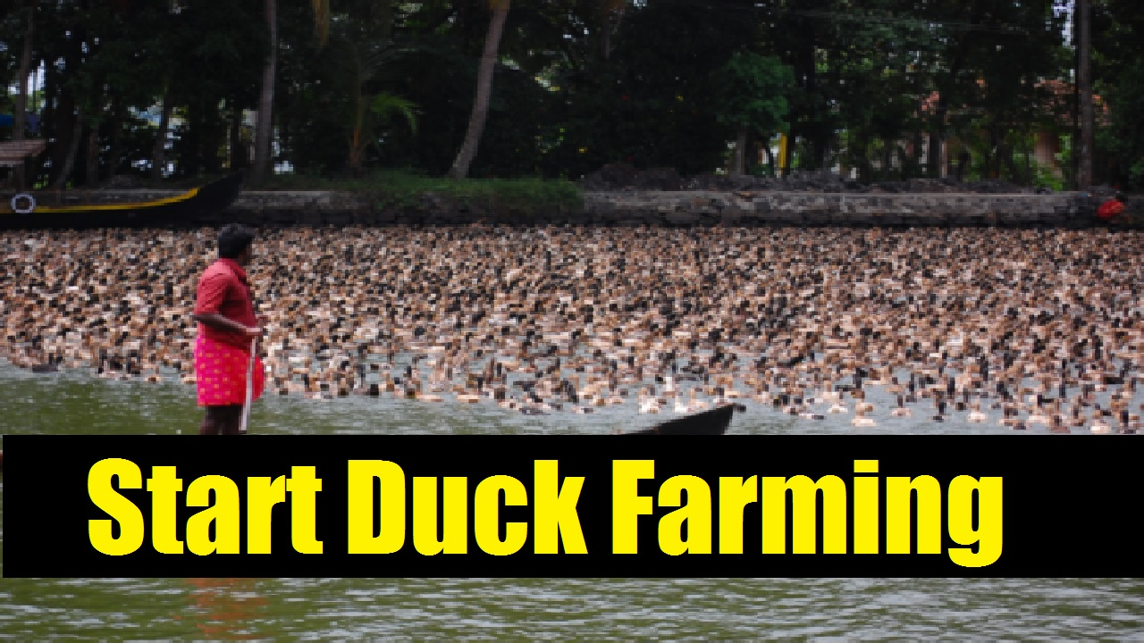 How to Start Duck Farming India Based