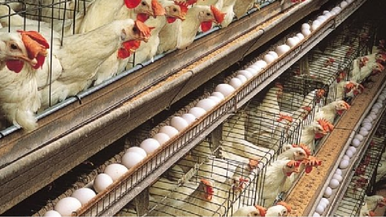 Tips for Growing and Expanding Your Poultry Farming Business