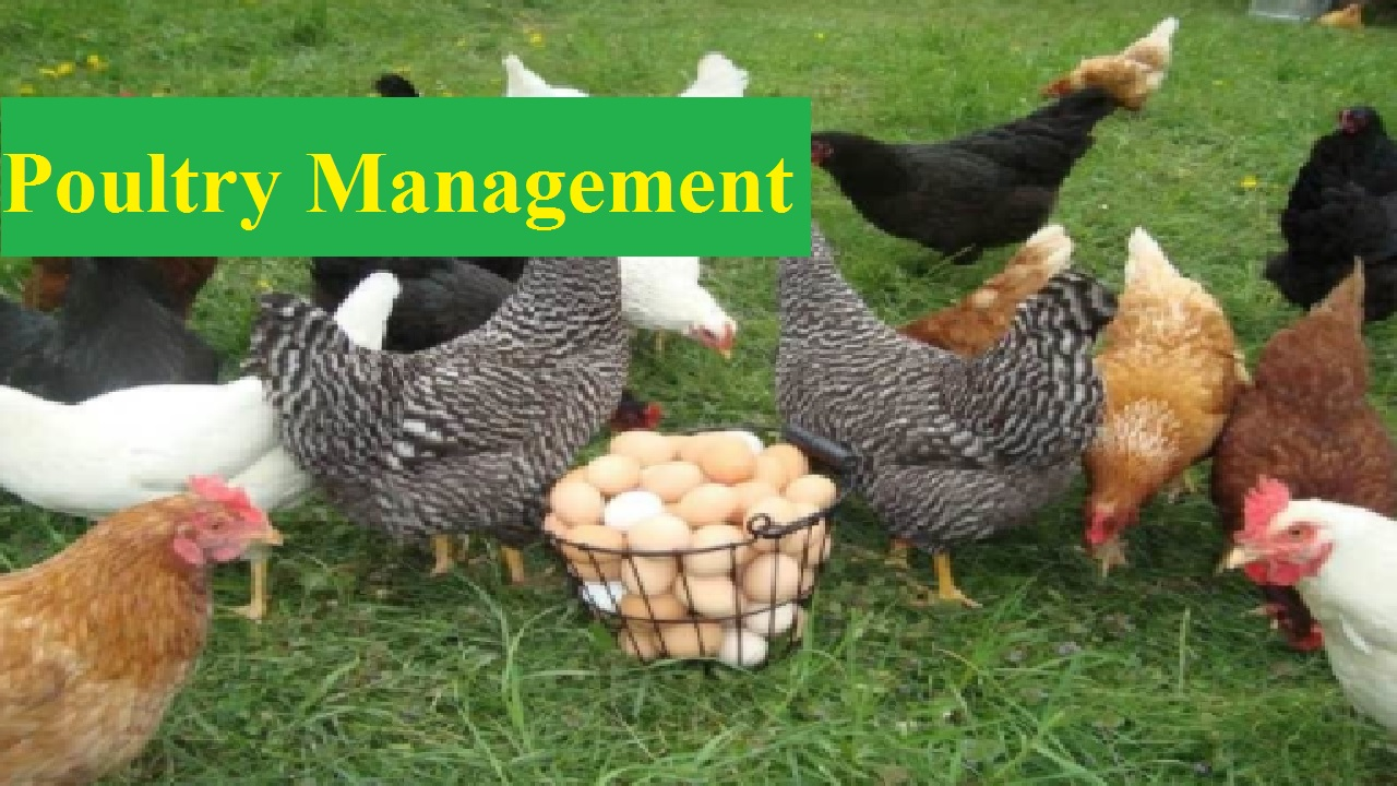 Top 11 Lucrative Guide Lines for Poultry Management