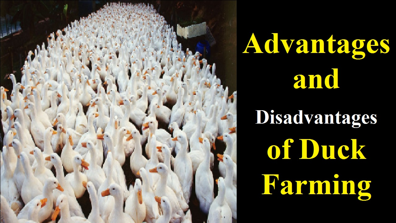 Advantages and Disadvantages of Duck Farming