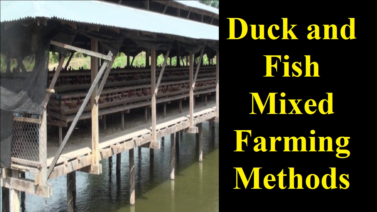 Duck and Fish Mixed Farming Methods