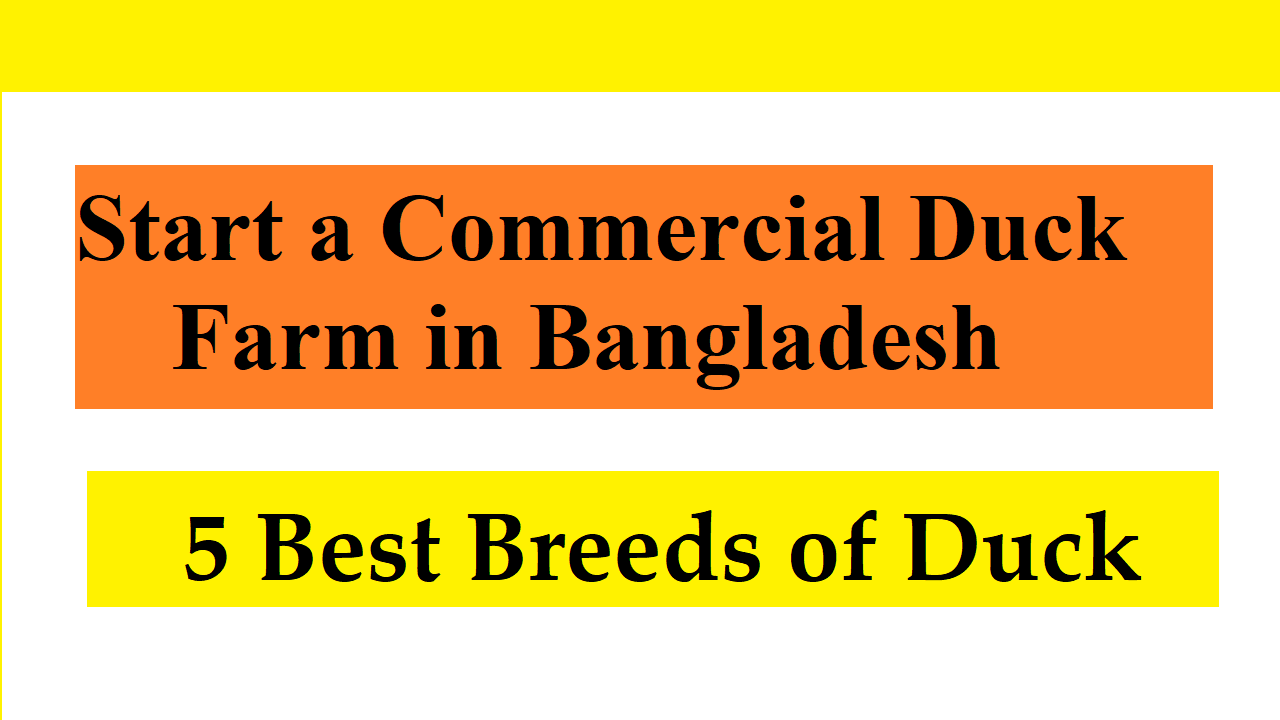 Best Breeds of Duck to Start a Commercial Duck Farm in Bangladesh