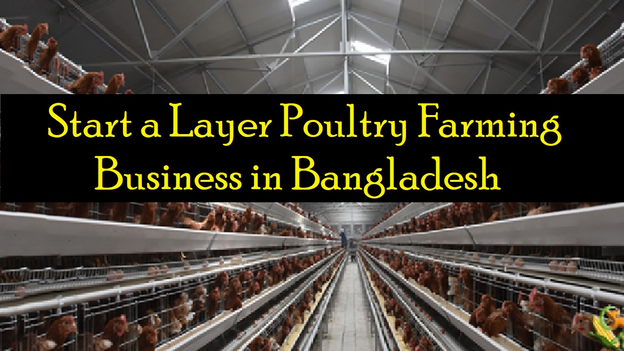 Layer Poultry Farming Business in Bangladesh