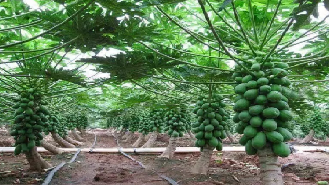 Profitable Papaya Farming Business in Bangladesh