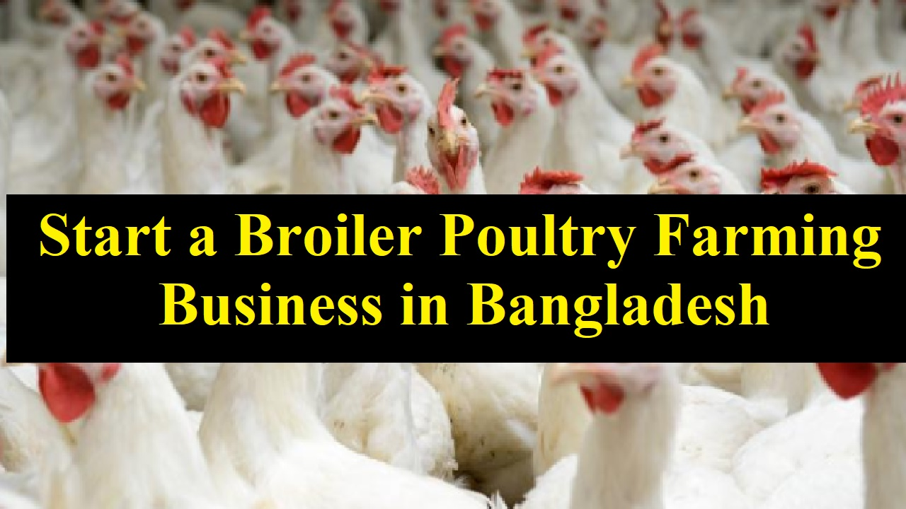 Start a Broiler Poultry Farming Business in Bangladesh