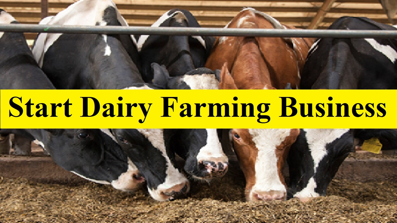 Start a Cattle Fattening Business Best 5 Breeds