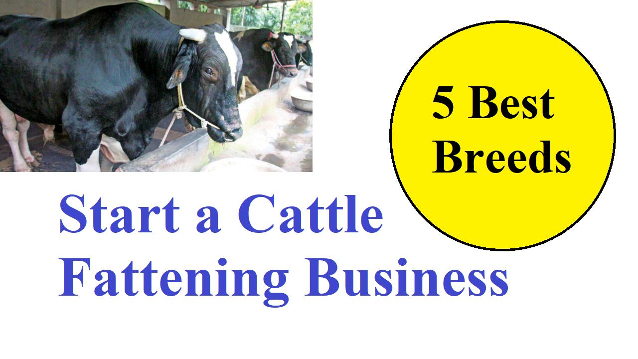 Start a Cattle Fattening Business Best 5 Breeds