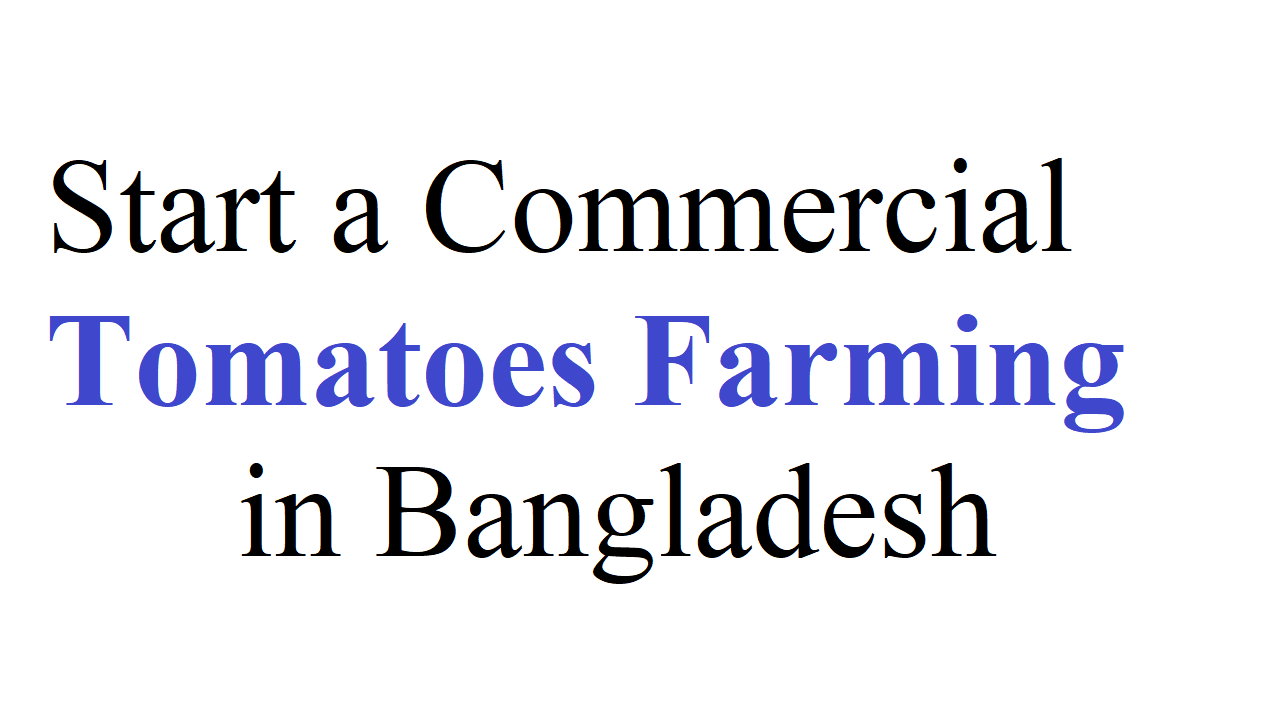 Start a Commercial Tomatoes Farming in Bangladesh
