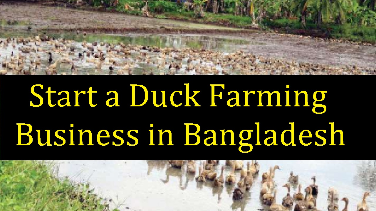 Start a Duck Farming Business in Bangladesh